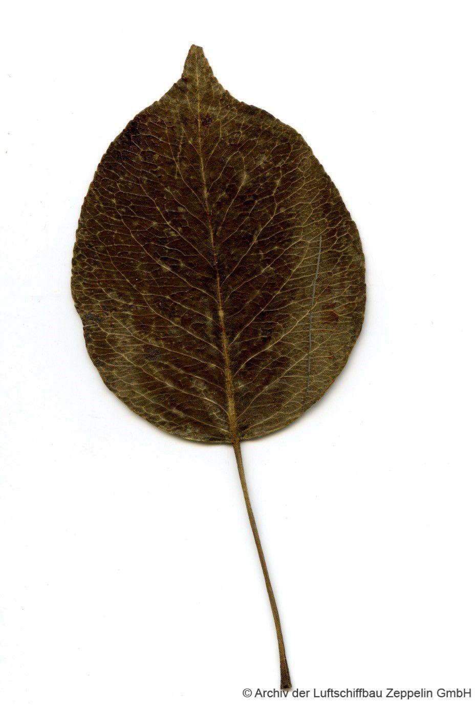 Blatt des Birnbaums